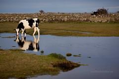 d_IMG_6115_MartenSvensson (Bad-Duck) Tags: places mat ko husdjur bete hst slb holstein kor betesmark jordbruk lantbruk rstid livsmedel mjlkko livsmedelsproduktion sjmark mjlkras