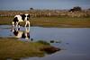 d_IMG_6115_MartenSvensson (Bad-Duck) Tags: places mat ko husdjur bete höst slb holstein kor betesmark jordbruk lantbruk årstid livsmedel mjölkko livsmedelsproduktion sjömark mjölkras