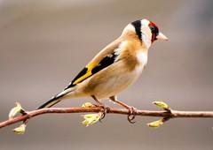 A3-600DPI-9012 (Paul Wynn Photography) Tags: birds scotland tits gardenbirds scottishbirds sexybirds