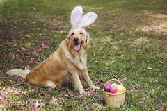 (Tc photography. Per) Tags: pink dog pet pets color cute rabbit bunny dogs girl smile animal goldenretriever 35mm canon easter golden costume happiness ears pascua perro kawaii mascota easterbunny retiever tcphotography