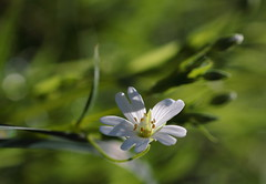 Like a water lily - Comme un nnuphar (CcileAF) Tags: flowers wild white colour macro green nature grass canon countryside bokeh fields