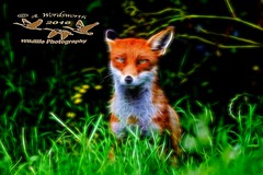 Fox Glow efect (Andrew 3457) Tags: canon is ii fox 7d ef70200mm f28l top20foxes