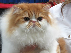 Born to be Beautiful (Bennilover) Tags: cloud cats white beautiful cat ginger persian ribbons gorgeous fluffy shows judging presence diva winners catshow persians animalexpo