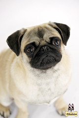 luna1ml (fifa foto) Tags: dog cute puppy funny sad sweet pug