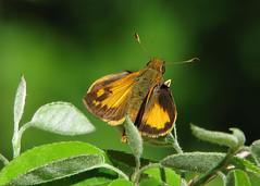 Zabulon skippers are back (Vicki's Nature) Tags: brown male yellow yard canon butterfly georgia small s5 zabulonskipper 7419 vickisnature