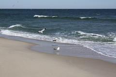 seagulls (TheFairView) Tags: ocean beach waves seagull oceangrove