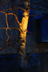 Belyst bjrkstam (Quo Vadis2010) Tags: ice se is vinter sweden waterfalls sverige bluehour culturehistory mlndal skymning fors vattenfall iceformations mlndalsn kvarn isskulpturer millvillage kvarnby minusgrader bltimmen iskonst kulturhistoria forsar mlna isformationer mlndalskvarnby mlndalsstad municipalityofmlndal mlndalsstadsmuseum millhamlet kvarndalen frostochvatten icesculpttures vattenenergi