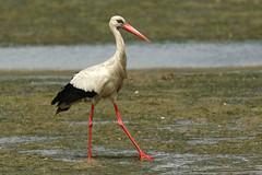 White Stork - Ciconia ciconia (Roger Wasley) Tags: portugal birds faro europe european algarve riaformosa whitestork ciconiaciconia naturalpark