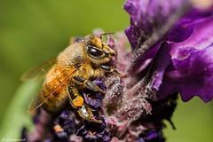 (scarramooch) Tags: flower macro closeup nikon sigma bee 105mm sigma105mm d7100