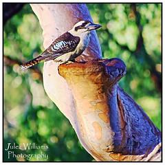 Kookaburra (juliewilliams11) Tags: tree bird outdoor border australia kookaburra photoborder