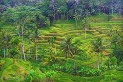 Terrace Palms (Sound Quality) Tags: travel bali green rain forest indonesia asia rice terrace terraces palm palmtrees jungle ubud baliindonesia tagalalang wwwmichaelwashingtonaecomhttpwwwflickrcomphotosmichaelwashingtonphotography tagalallang