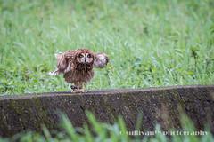 IMG_3855 (sullivan) Tags: nature animal taiwan  jinshan shortearedowl asioflammeus   ef300mmf4lisusm   canoneos7d     newtaipeicity      adobephotoshoplightroom5 suhaocheng sullivan sullivan