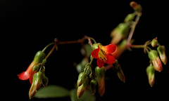 Zarte Blten (chipdetty) Tags: germany pflanzen magdeburg blte