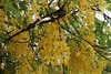 #HappyVishu #kanikonna #Cassiafistula #goldenshowertree #Fabaceae (shuba_sv) Tags: fabaceae cassiafistula goldenshowertree kanikonna happyvishu