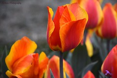 Spring Flowers 2016 (k.garapati) Tags: travel flowers blue red vacation usa white lake holiday cold green love nature colors beauty yellow festival garden lens cherry fun dc washington spring nikon tulips blossom outdoor april 2016 d7000