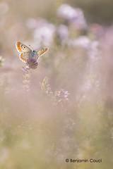 Pink Butterfly (Benji Pictures) Tags: macro fleur 100mm papillon 70d proxi azur