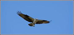 {Osprey Fly Over} (Wolverine09J ~ 1 Million + Views) Tags: park nature minnesota wildlife raptor osprey birdofprey naturesgallery spiritofphotography flyingosprey worldnaturewildlifecloseup blinkagain frameit~level01 centralparkspringfauna