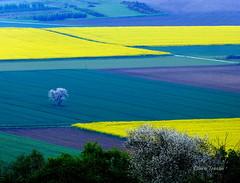 tonnantes couleurs des champs (clairetresse) Tags: en france de la nord cerisier herbe plaine bl colza isre bivre