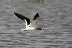 American Avocet (fethers1) Tags: bird americanavocet shorebird