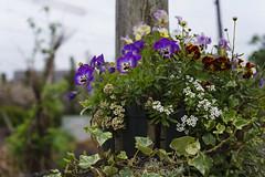 _DSC2071 (Osamu1965) Tags: flower japan zeiss garden spring sony contax jp   okayama     a7m2  carlzeissvariosonnart2870mmf3545mm