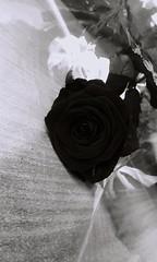 Gift in Women's Day.  #Rose#blackandwhite#beautiful#sad#love#haveaniceday! (kamila.6666) Tags: blackandwhite love beautiful rose sad haveaniceday