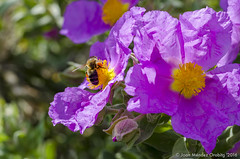 Macro_La Tossa 034 (jomendro) Tags: macro planta animals flor natura plantes macrofotografa abelles latossademontbui