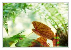 Paradise Found - Gartenparadies (macplatti) Tags: park italy garden paradise bamboo jungle begonia ita andreheller bambus lagodigarda lombardy gardasee begonie gardone gardoneriviera