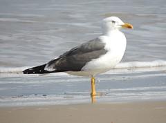 Lesser Black-backed Gull (Turtlerangler) Tags: texas gull padreisland kleberg