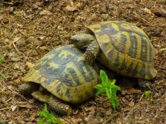 Hermann's tortoises (Testudo hermanni) (Sasho Popov) Tags: nature