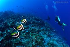 Bannerfish (kayak_no1) Tags: uw nikon underwater sigma wideangle diving fisheye wa scubadiving maldives 15mm deepsouth underwaterphotography bannerfish nauticamhousing d800e ysd1