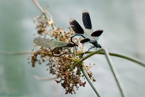 Caloptéryx éclatant (Calopteryx splendens)