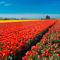 Dutch tulip field#1 (spiridono) Tags: flowers red netherlands dutch field lines yellow spring colours tulips perspective rows tulip fiels