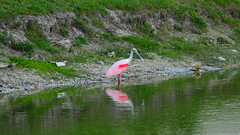 Roseate Spoonbill (Jim Mullhaupt) Tags: pictures camera wallpaper lake bird nature water landscape photography photo pond nikon flickr florida outdoor background wildlife snapshot picture p900 swamp coolpix bradenton roseatespoonbill wader nikoncoolpixp900 coolpixp900 nikonp900 jimmullhaupt
