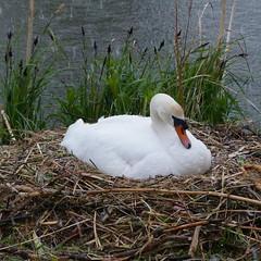 Zwaan in de hagel (Olga and Peter) Tags: hail swan nederland thenetherlands diemen hagel zwaan fp1110139