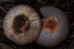 Mushroom top edge detect (Mike - through my eyes) Tags: mushroom closeup garden fungus toadstool edgedetect
