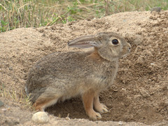 Cottontail Rabbit (efroese) Tags: rabbit denver cottontail