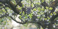 little owl in the blossom tree (explored) (Bart Hardorff) Tags: blossom thenetherlands april bloesem 2016 uil athenenoctua powl steenuil herwijnen barthardorff