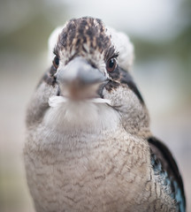 Brown Eyes (Grant Brodie Photography) Tags: bokeh nelsonbay portstephens kookaburra 2016 littlebeach grantbrodiecreativephotography
