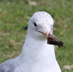 Is there something on my beak? (jmaxtours) Tags: toronto centennial seagull gull etobicoke centennialpark torontoontario etobicokeontario centennialparketobicoke istheresomethingonmybeak