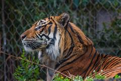Sumatran Tiger (Vincent1825) Tags: animals pentax ani 200mm louisvillezoo