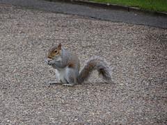 Squirrel Kensington garden (tsilah) Tags: life uk cute london gardens squirel sauvage kensignton
