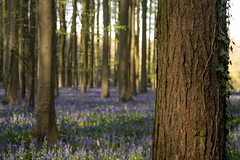 Hallerbos ivy (rvanhegelsom) Tags: wood flowers blue trees plant flower color colour tree green nature floral beautiful bluebells forest landscape photography spring woods flora colorful belgium natural pics colourful sequoia halle hallerbos