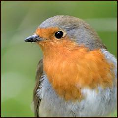 Robin (image 2 of 2) (Full Moon Images) Tags: bird nature robin pits nikon wildlife reserve cambridgeshire d500 paxton