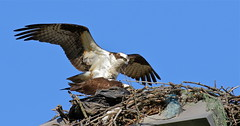 Making Eggs (Slow Turning) Tags: two male female sticks nest branches plastic raptor mating mate lighttower pandionhaliaetus southernontario ospreys fishhawk balingtwine