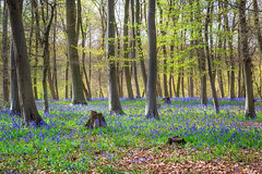 Bluebells and beech (Noel Wyn Davies) Tags: uk flowers trees england sunlight green leaves bluebells woodland spring woods branches trunks beech bedfordpurlieus