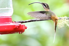 Tawny bellied hermit (ricmcarthur) Tags: ecuador hummingbird hermit ricmcarthur tawnybelliedhermit phaethornissyrmatophorus rondeauric rickmcarthur