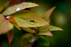 Droplet (cuppyuppycake) Tags: nature water rain leaf nikon outdoor droplet sprinkle d7200