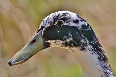 Mister Duck (Hugo von Schreck) Tags: portrait bird duck outdoor ente tier vogel tamron28300mmf3563divcpzda010 canoneos5dsr hugovonschreck