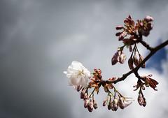Cherry Blossom (judy dean) Tags: tree rain clouds garden cherry blossom bluesky 2016 judydean sonya6000