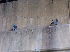 PIGEONS UNDER THE UNDERPASS (richie 59) Tags: street city bridge urban usa ny newyork streets birds america underpass concrete outside us spring unitedstates weekend pigeons sunday broadway overpass midtown kingston faded perch steelbridge newyorkstate cracks nys obsolete wornout nystate hudsonvalley citystreet kingstonny oldbridge 2016 fadedpaint ulstercounty smallcity oldconcrete midhudsonvalley americancity midhudson oldsteelbridge ulstercountyny uscity 2010s richie59 midtownkingstonny midtownkingston may2016 may12016 oldconcretewalls